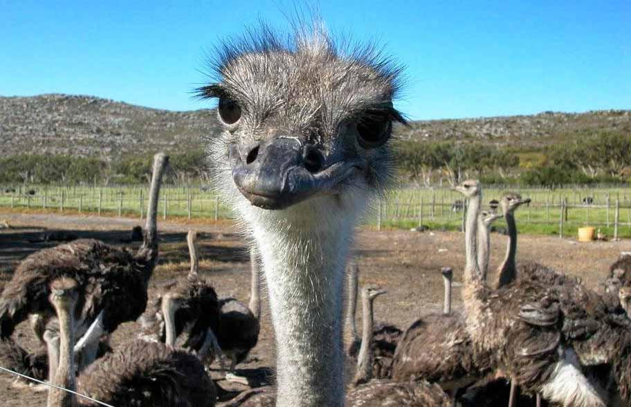 Парк страусов на Кипре