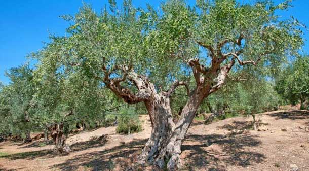 Оливковое деоево на Кипре