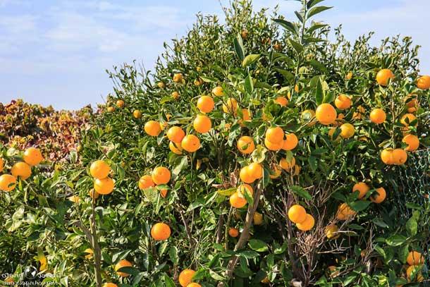 Апельсиновое дерево (Кипр)