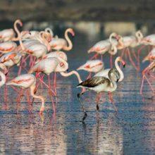 Соленое озеро Ларнаки на Кипре: озеро фламинго