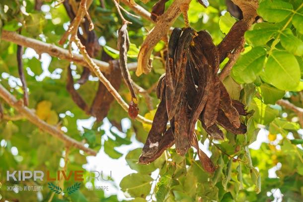 Плоды рожкового дерева на Кипре