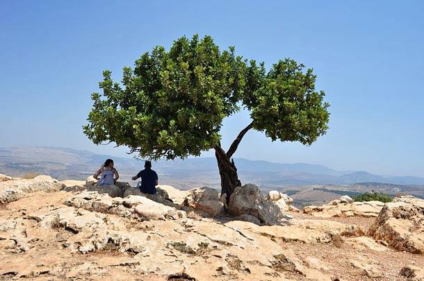 Рожковое дерево на Кипре