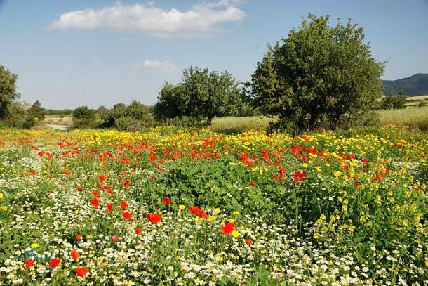 Цветочные плантации на Кипре весной